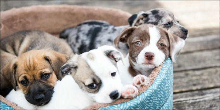 Four puppies sitting in a blue dog bed