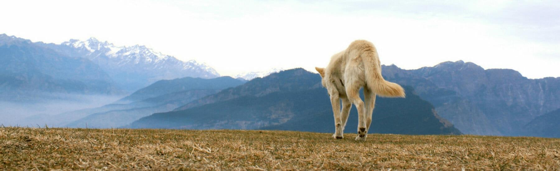 Golden dog walking away from camera towards mountains