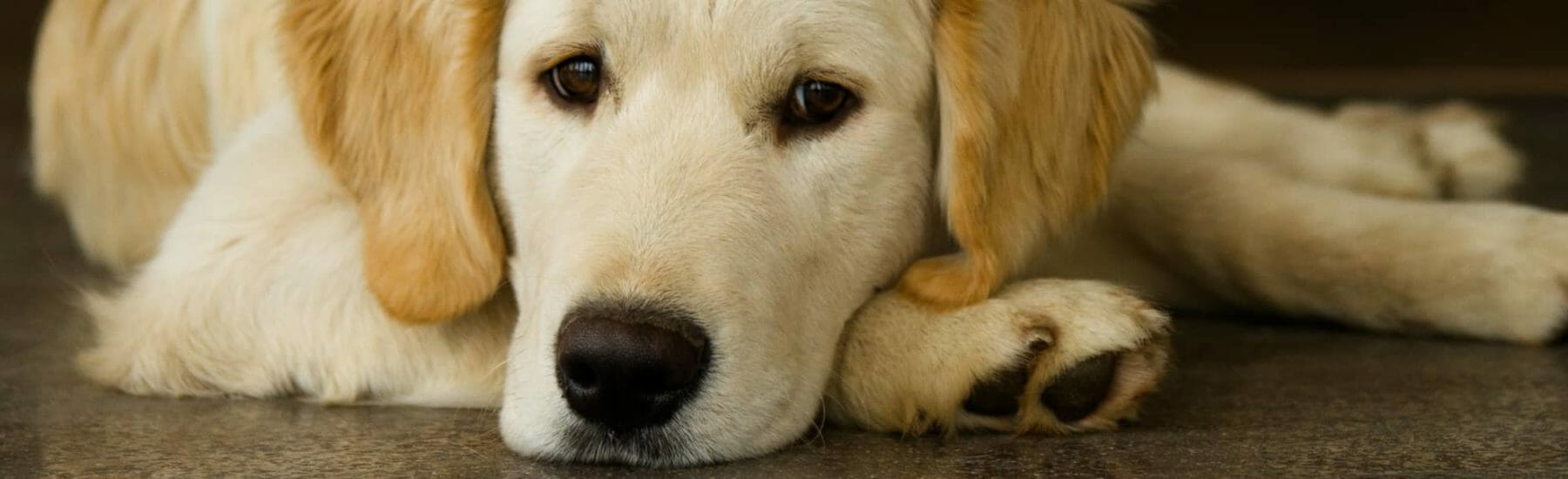 Golden dog resting head on the floor looking at camera