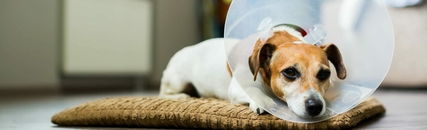 Small brown and white dog laying down with transparent cone around their head