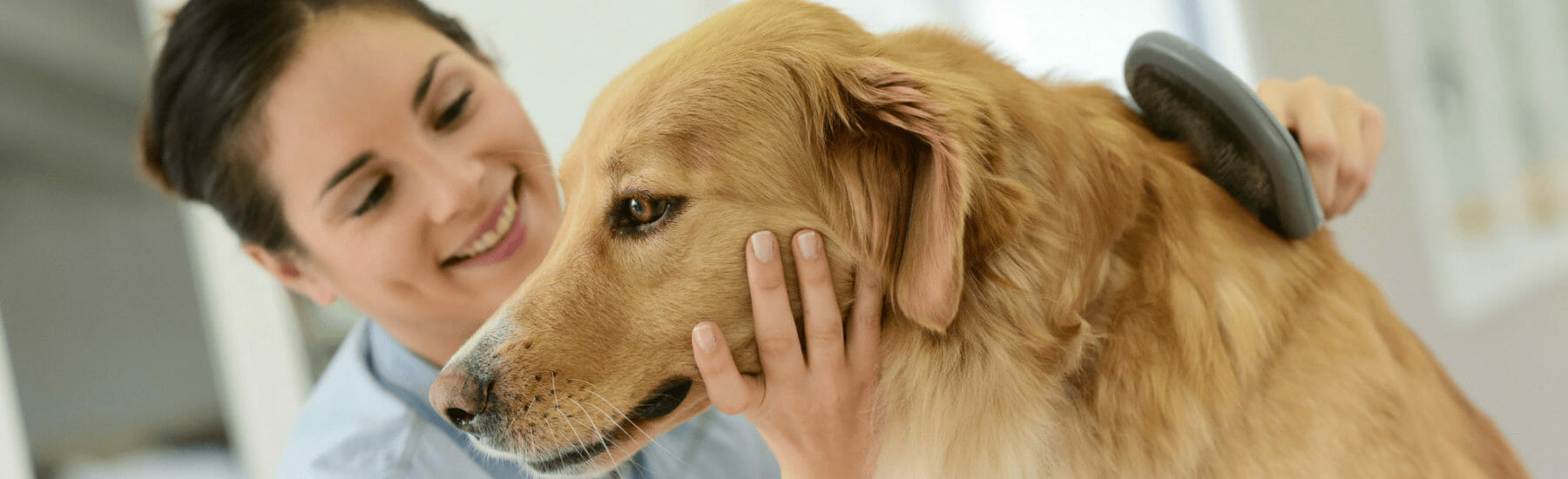 Golden dog being brushed by groomer