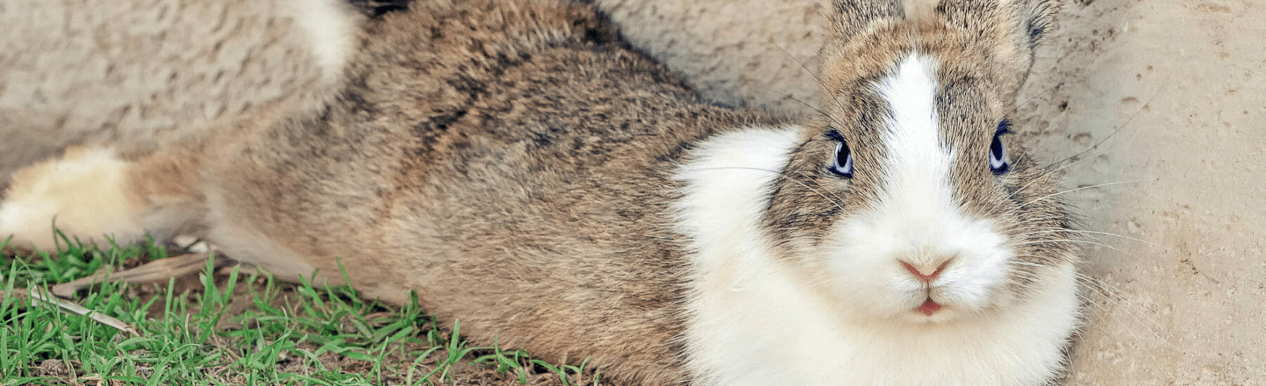 Rabbit laying on its side in the grass
