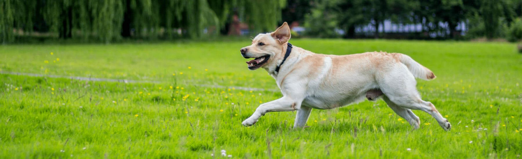 Large golden dog running through the grass