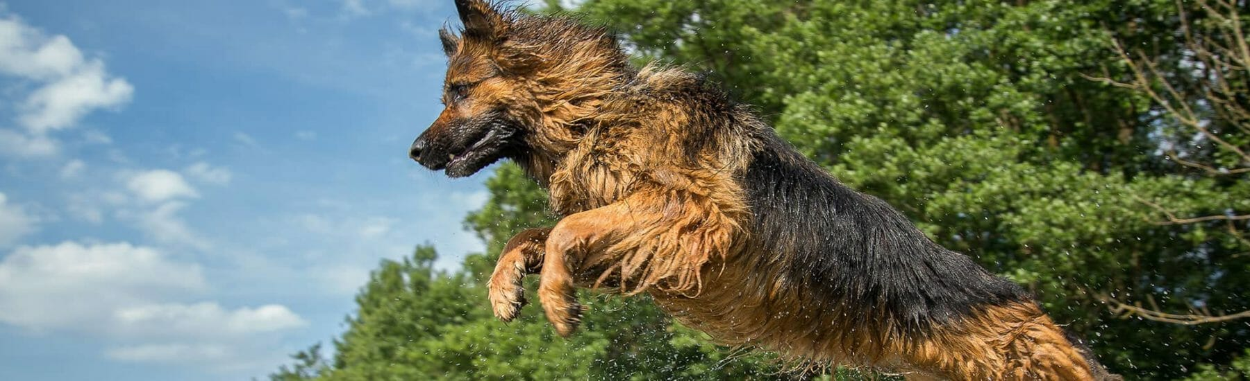 Wet german Shepard jumping through the air