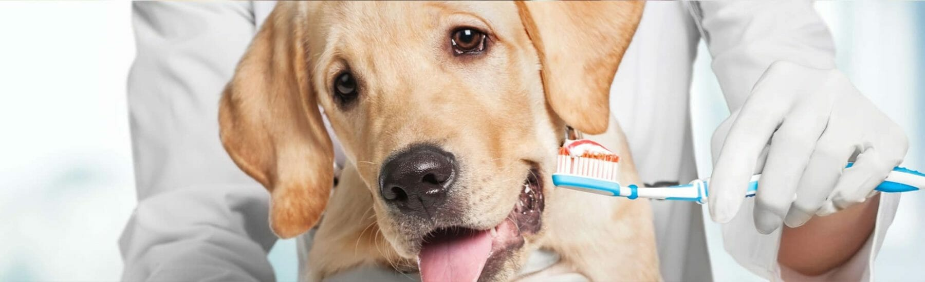 Golden dog getting their teeth brushed
