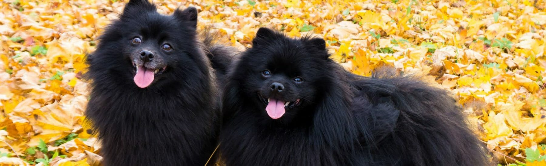 Two black dogs in the leaves looking towards the camera with their tongues out