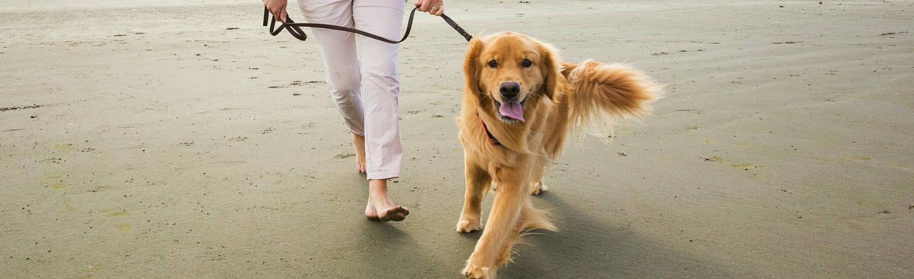Golden retriever walking on a leash on the beach