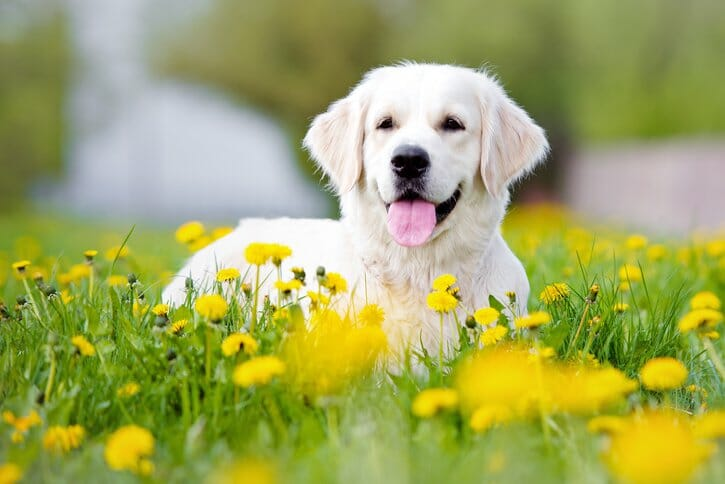 White dog laying in a field of yellow flowers
